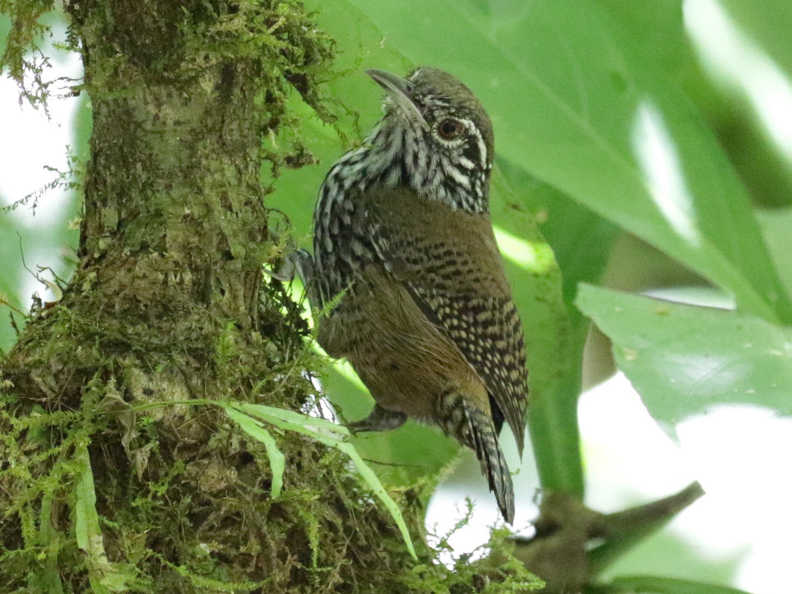 Stripe-breasted Wren - Cameron Eckert