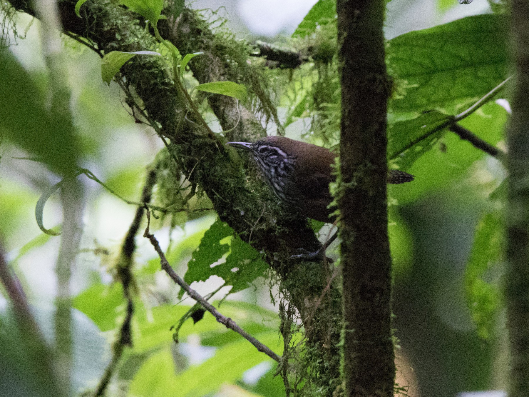 Stripe-breasted Wren - Annika Anderson
