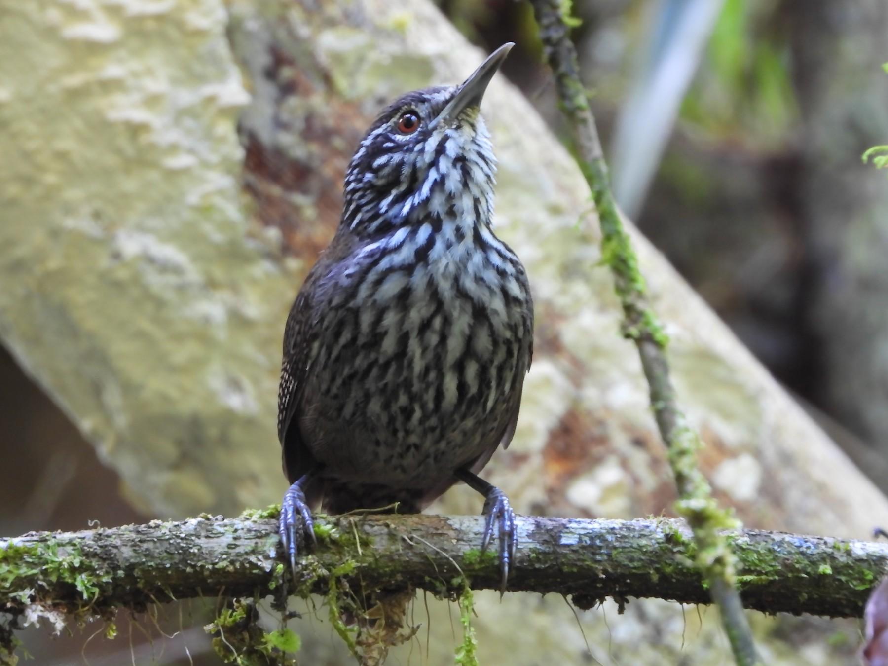 Stripe-breasted Wren - Jessy Lopez Herra