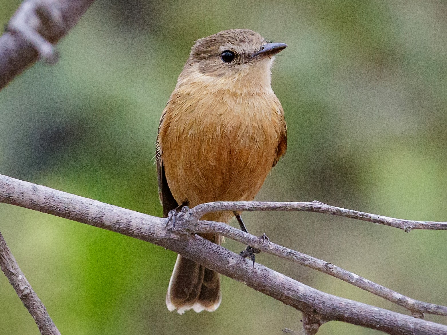 Bran-colored Flycatcher - Pio Marshall