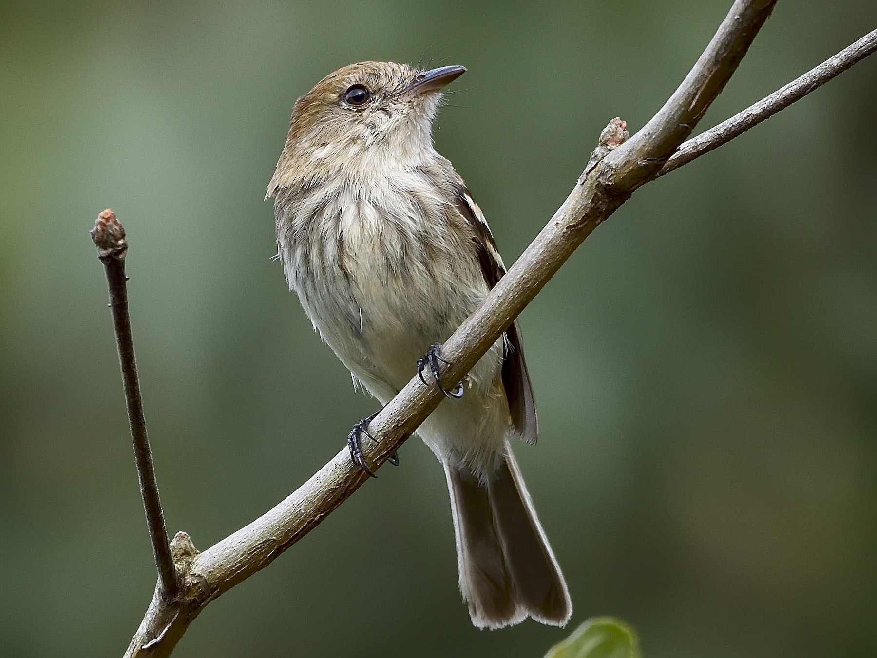 Bran-colored Flycatcher - Germán  Correa Jaramillo