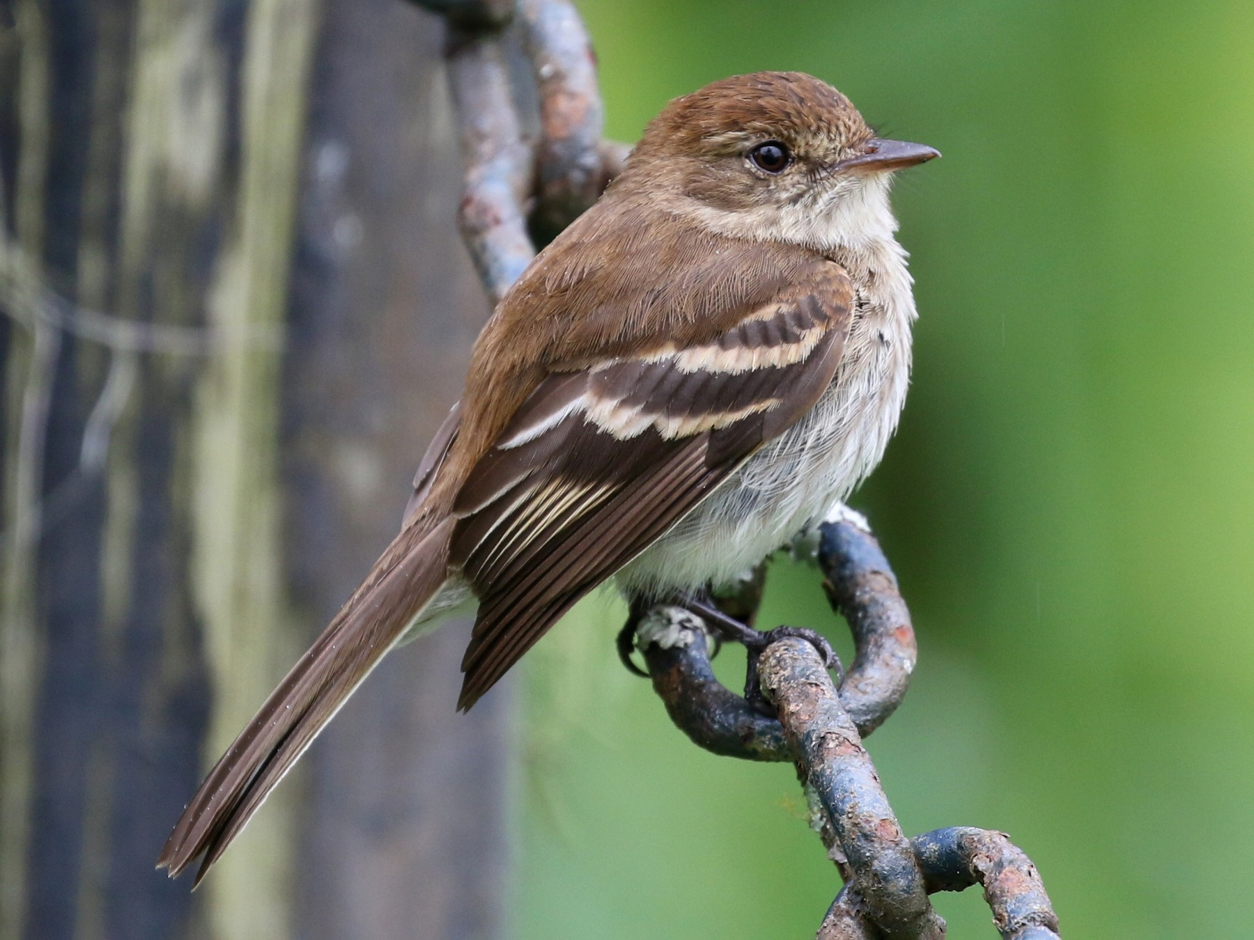 Bran-colored Flycatcher - Matthew Grube