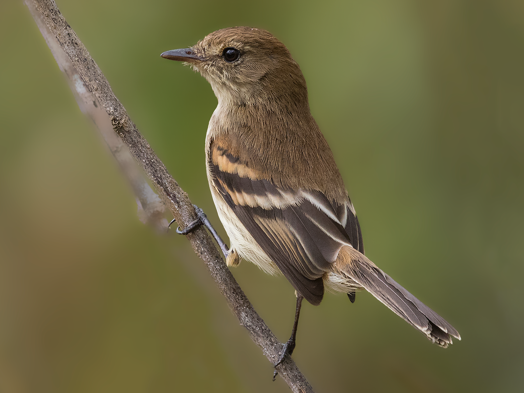 Bran-colored Flycatcher - Jorge Gabriel Campos