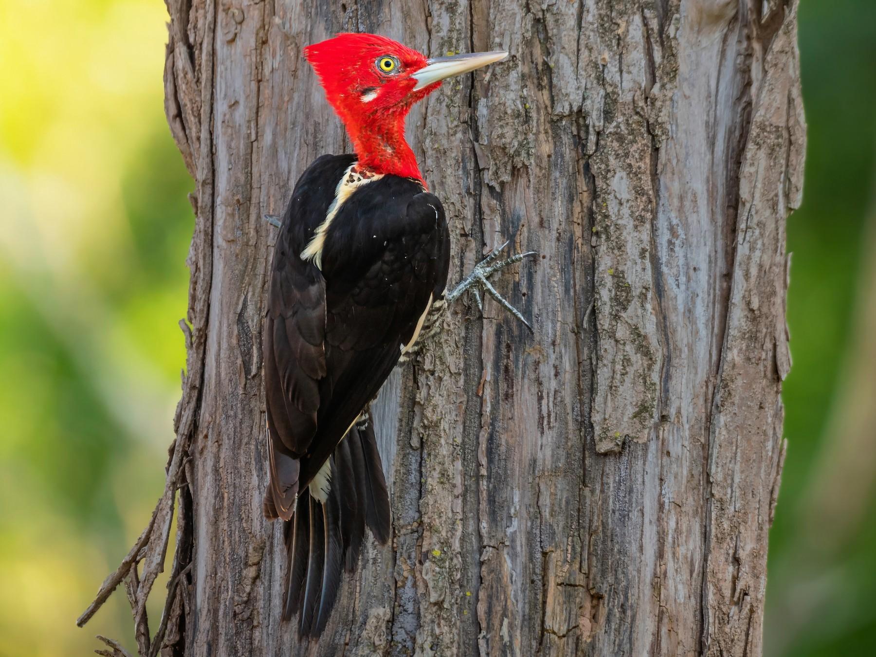 Robust Woodpecker - Giovan Alex
