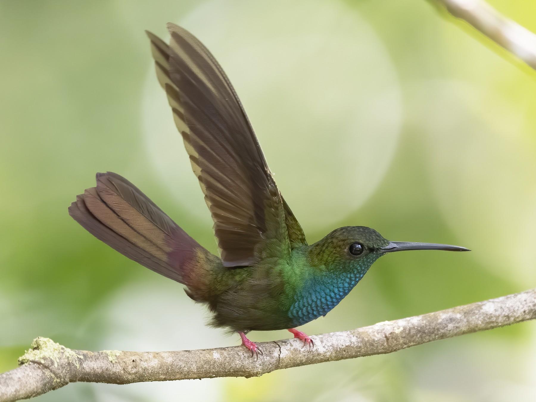 Bronze-tailed Plumeleteer - Peter Hawrylyshyn