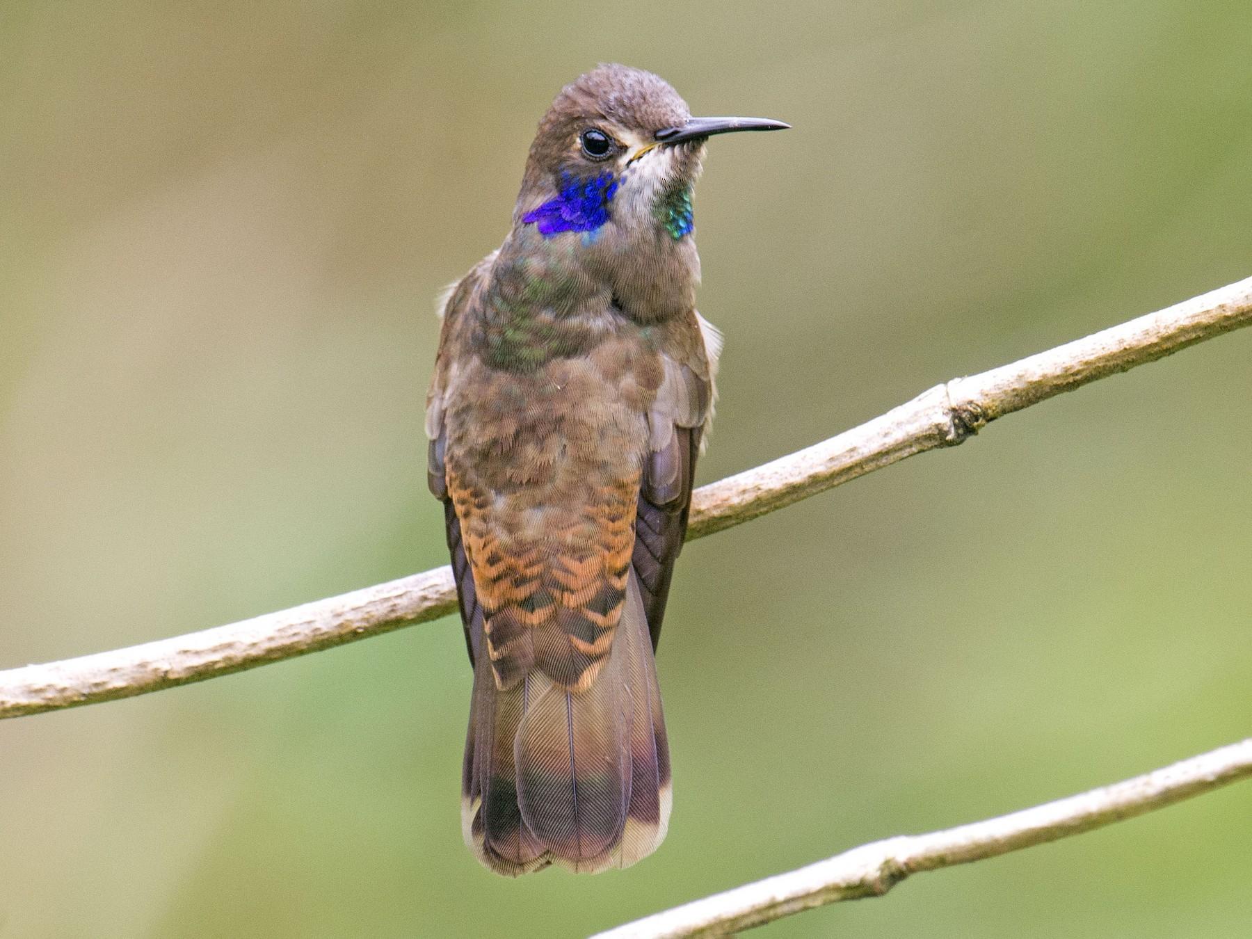 Brown Violetear - Cyril Coomansingh