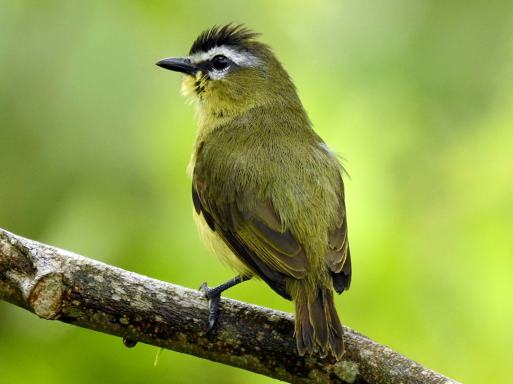 Brown-capped Tyrannulet - Marcelo Quipo