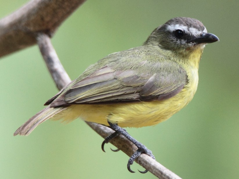 Brown-capped Tyrannulet - Lorenzo Calcaño