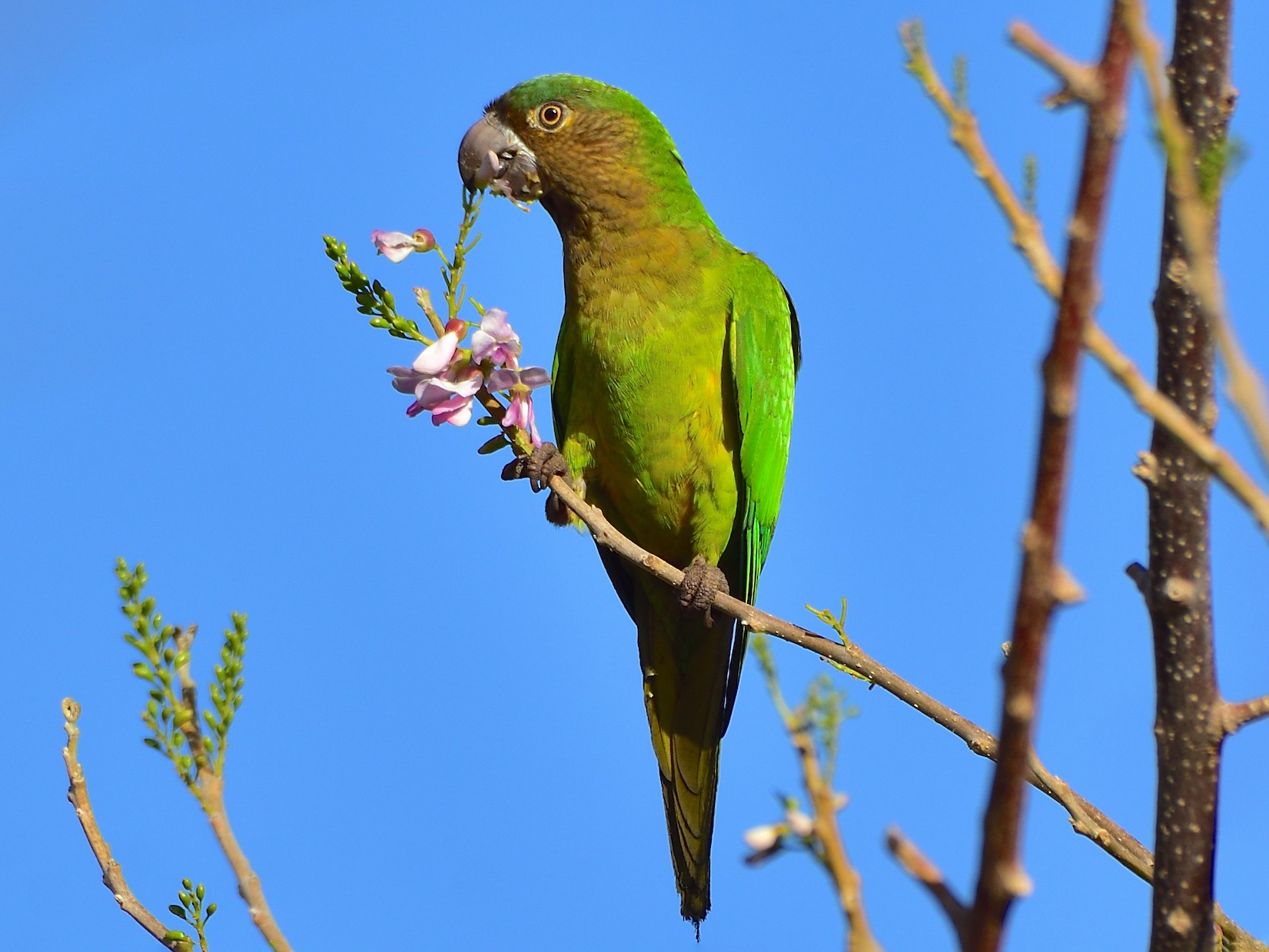 Brown-throated Parakeet - Ad Konings