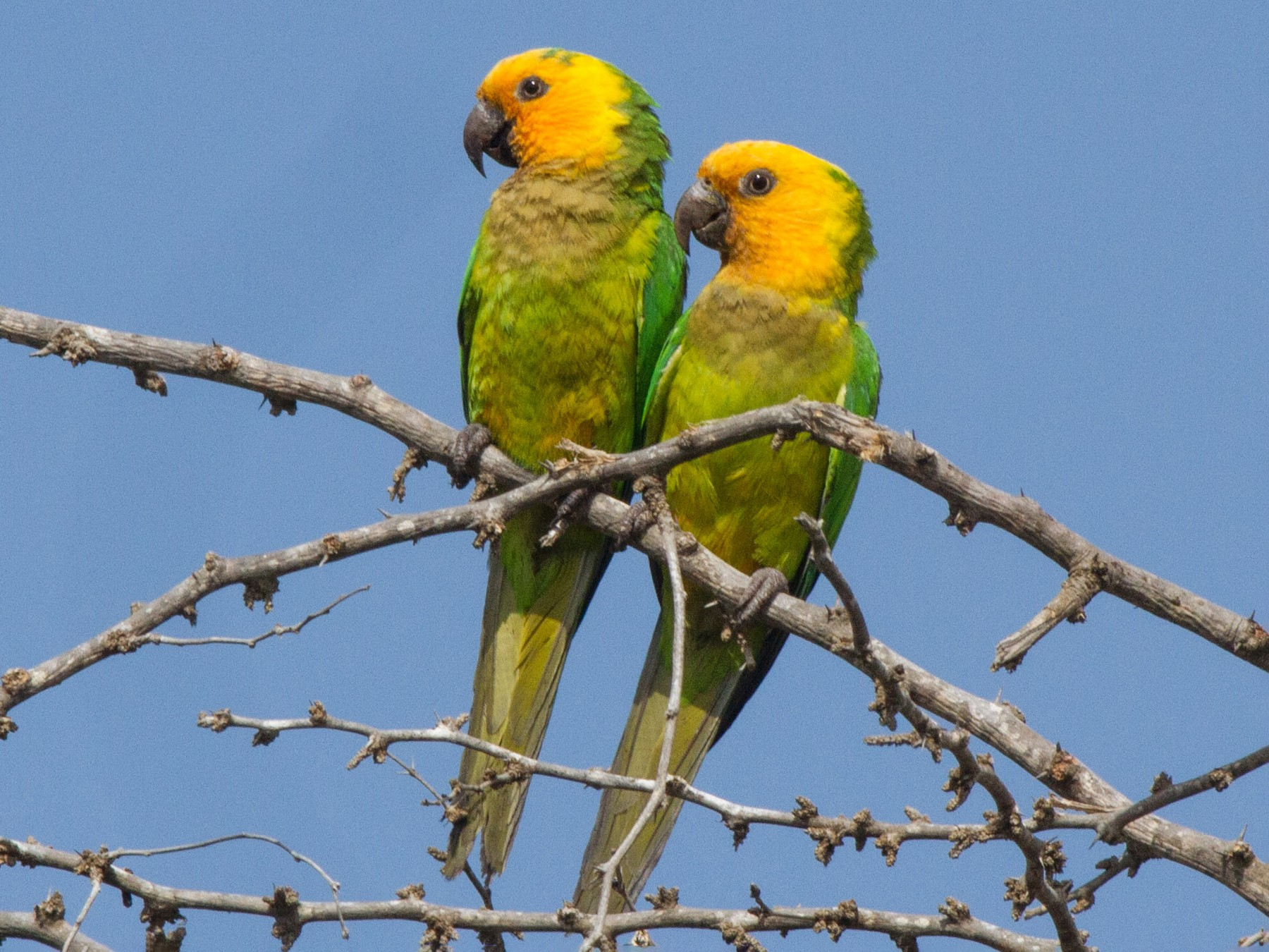Brown-throated Parakeet - Jeff Gerbracht