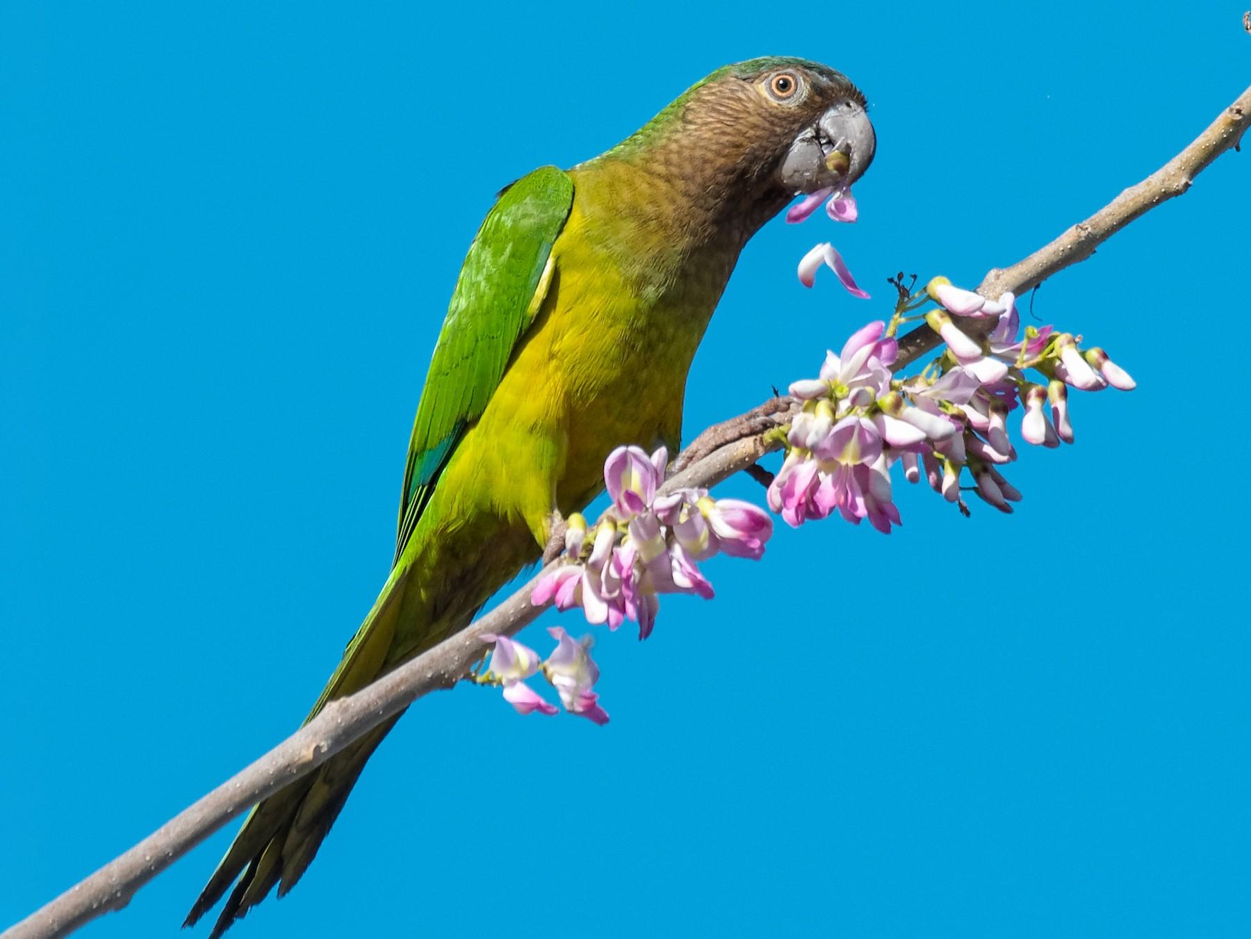 Brown-throated Parakeet - Don Danko