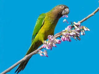- Brown-throated Parakeet