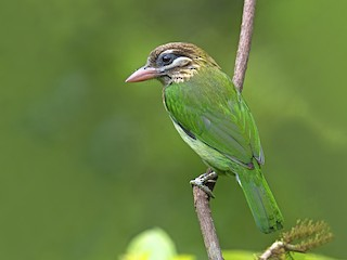 - White-cheeked Barbet