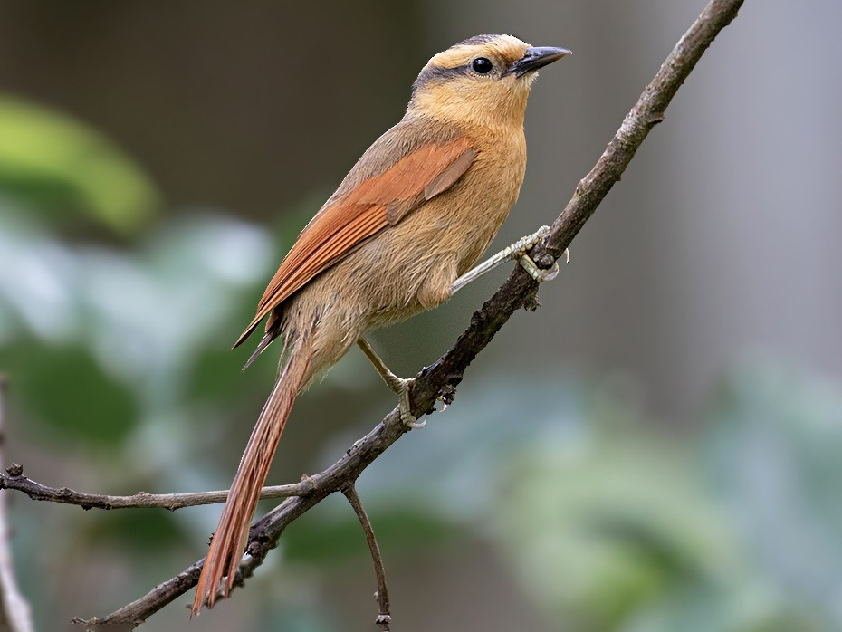 Buff-fronted Foliage-gleaner - Alexandre Gualhanone