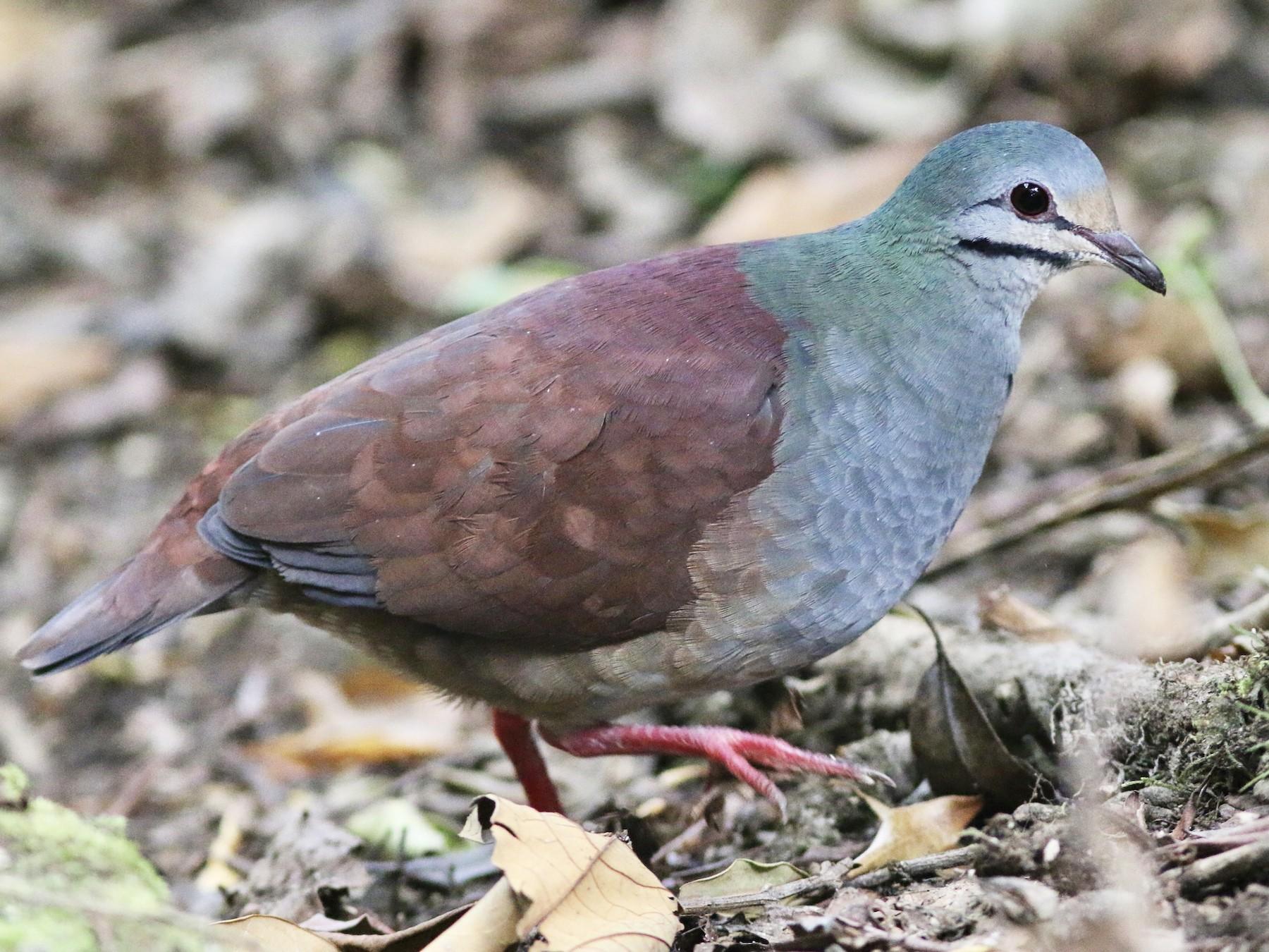 Buff-fronted Quail-Dove - Russ Morgan