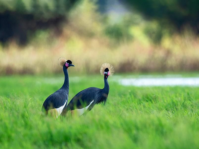 Black Crowned-Crane - JIAJIE Sun