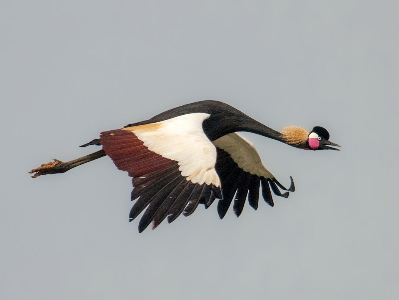 Black Crowned-Crane - Marshall Iliff