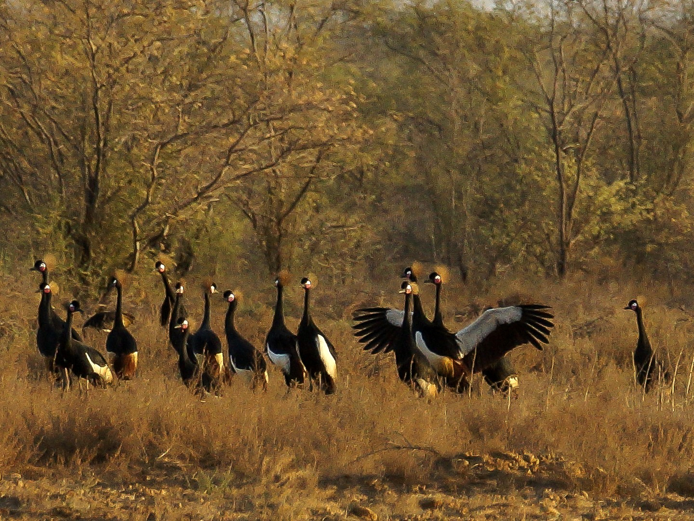 Black Crowned-Crane - Priska Rüegg