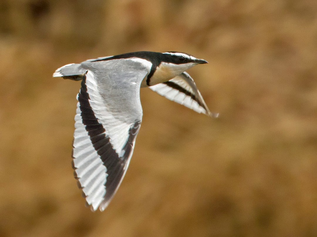 Egyptian Plover - Lars Petersson