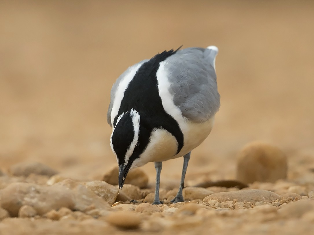 Egyptian Plover - Niall D Perrins