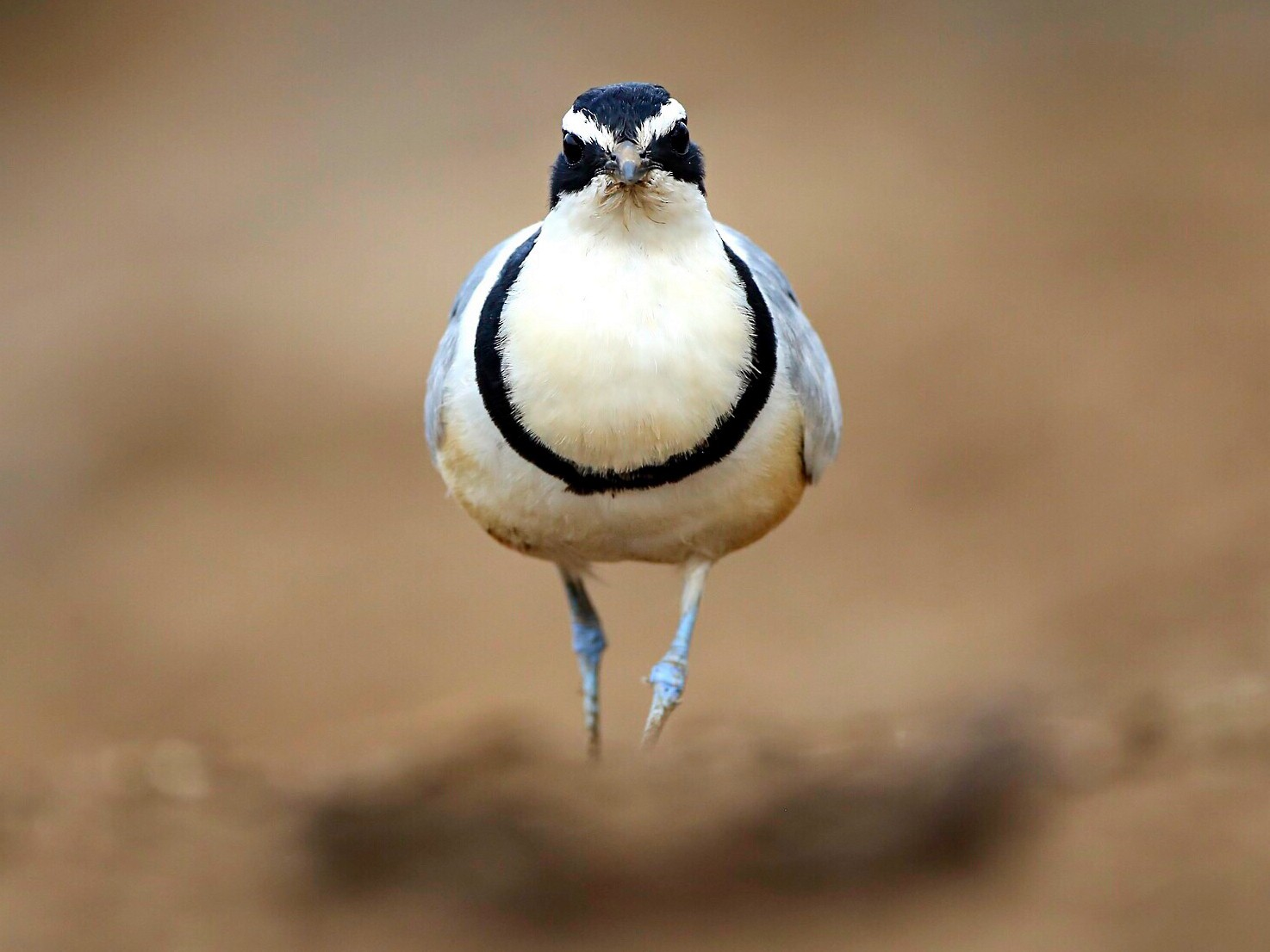 Egyptian Plover - Mathieu  Bally