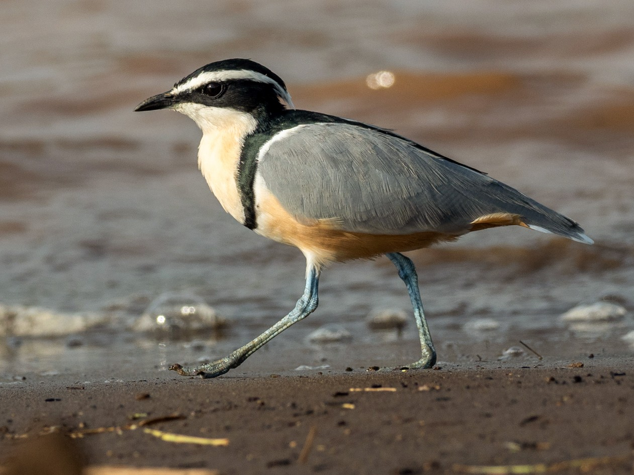 Egyptian Plover - Forest Jarvis