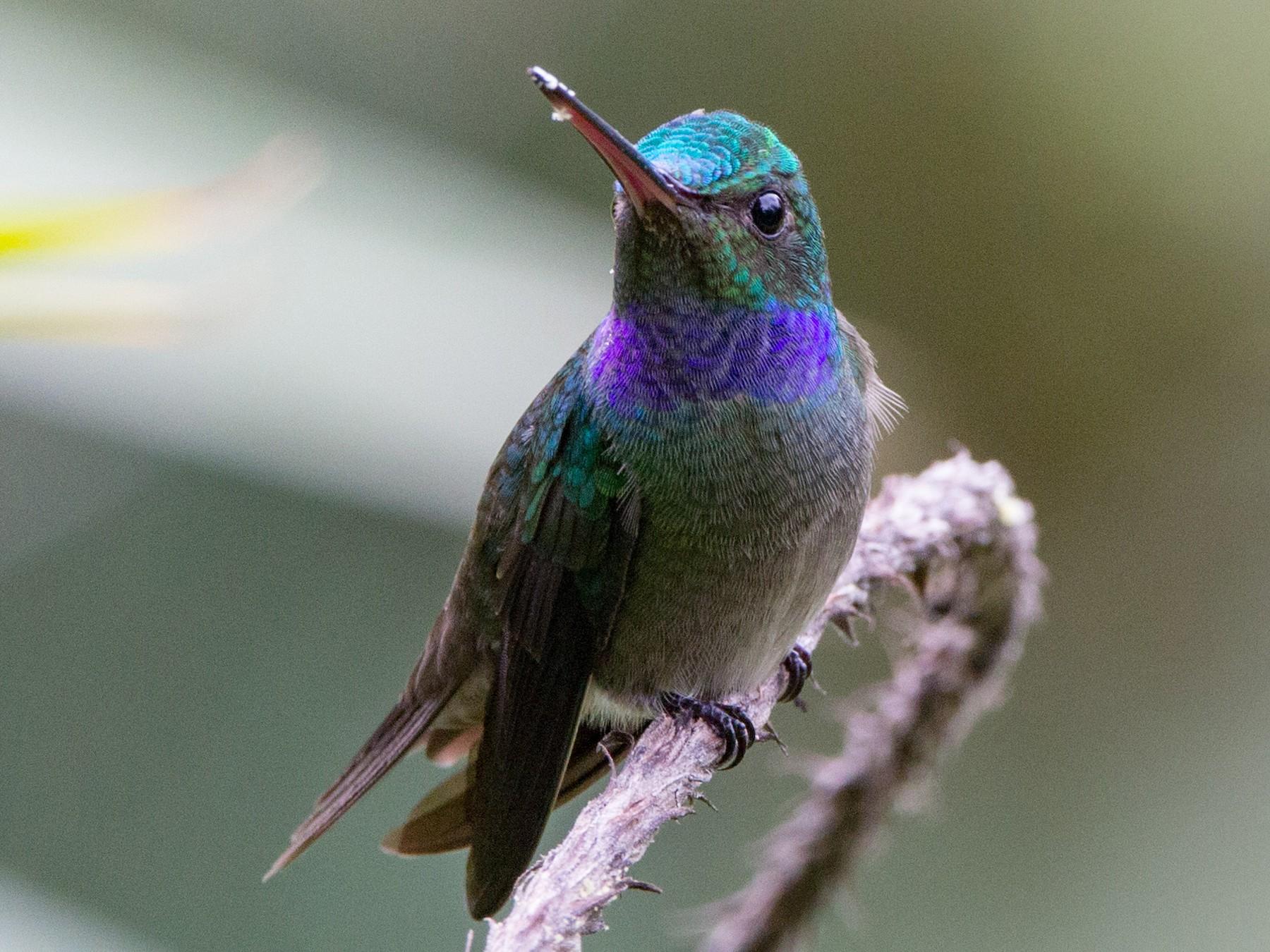 Charming Hummingbird - Pepe Castiblanco