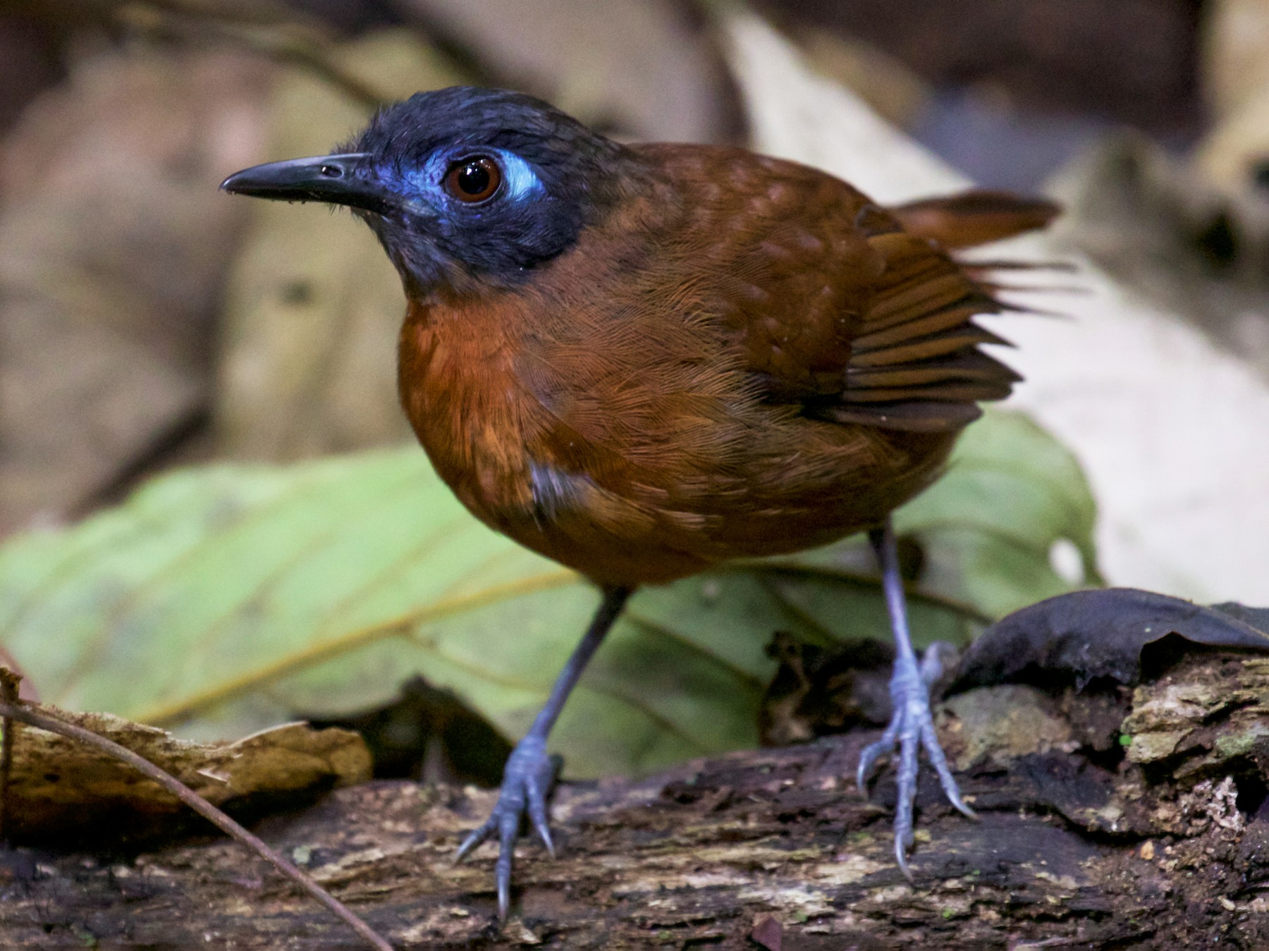 Chestnut-backed Antbird - Gates Dupont