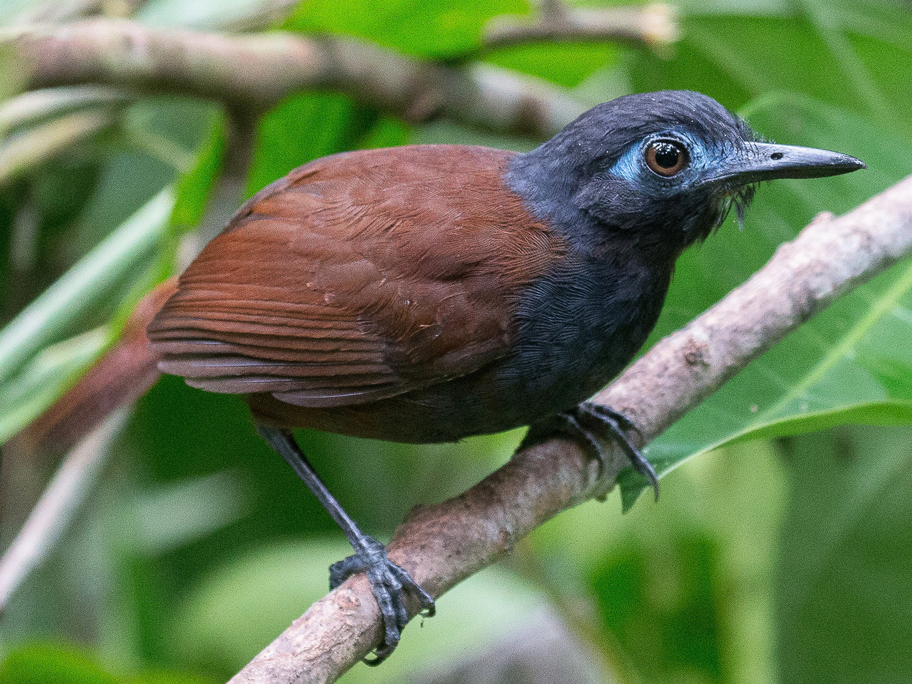 Chestnut-backed Antbird - Joel Strong