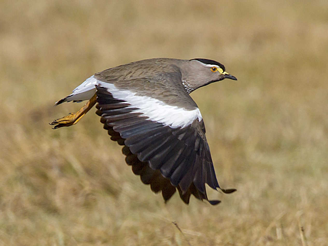 Spot-breasted Lapwing - Marco Valentini