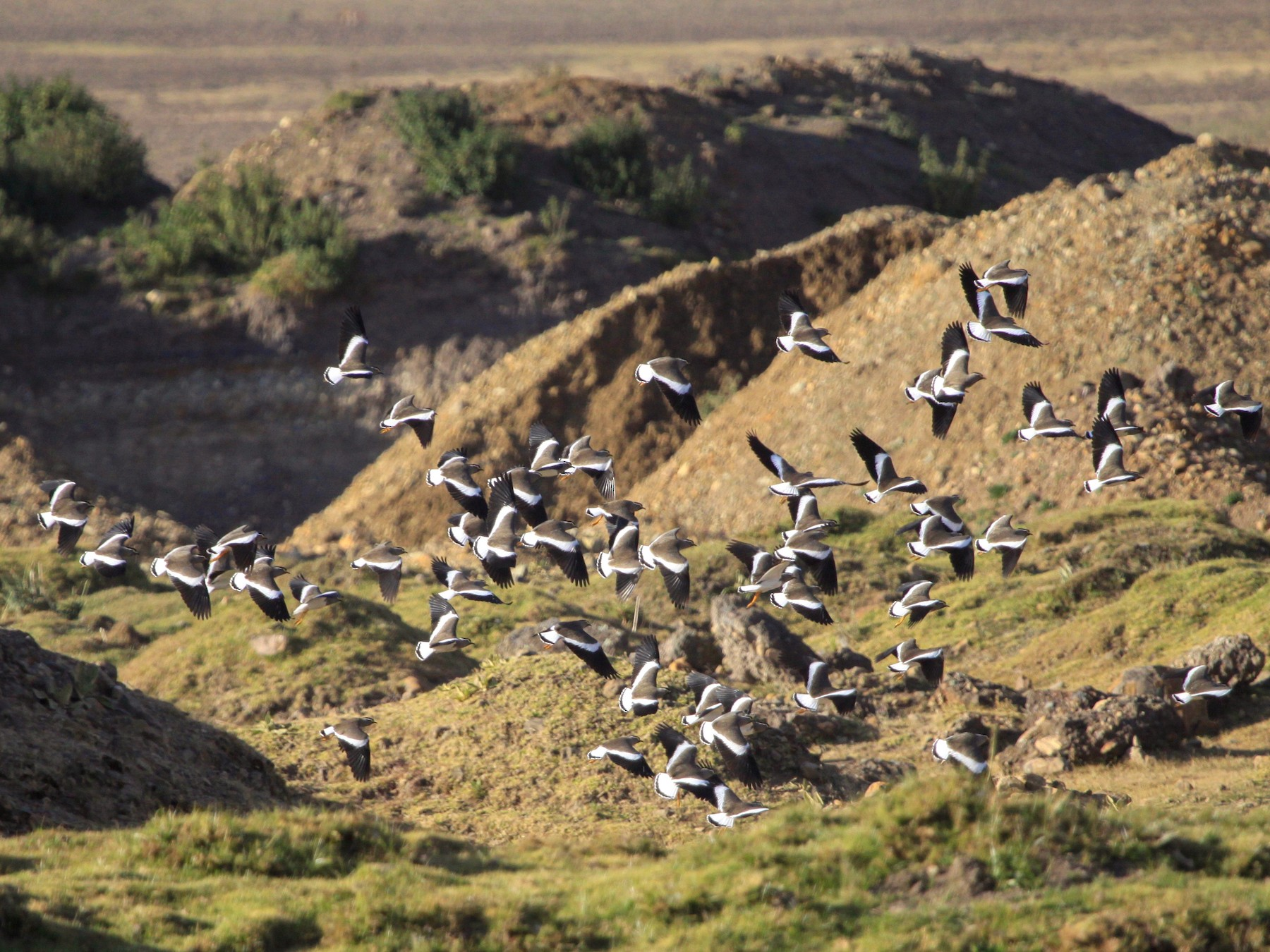 Spot-breasted Lapwing - Roger Clark