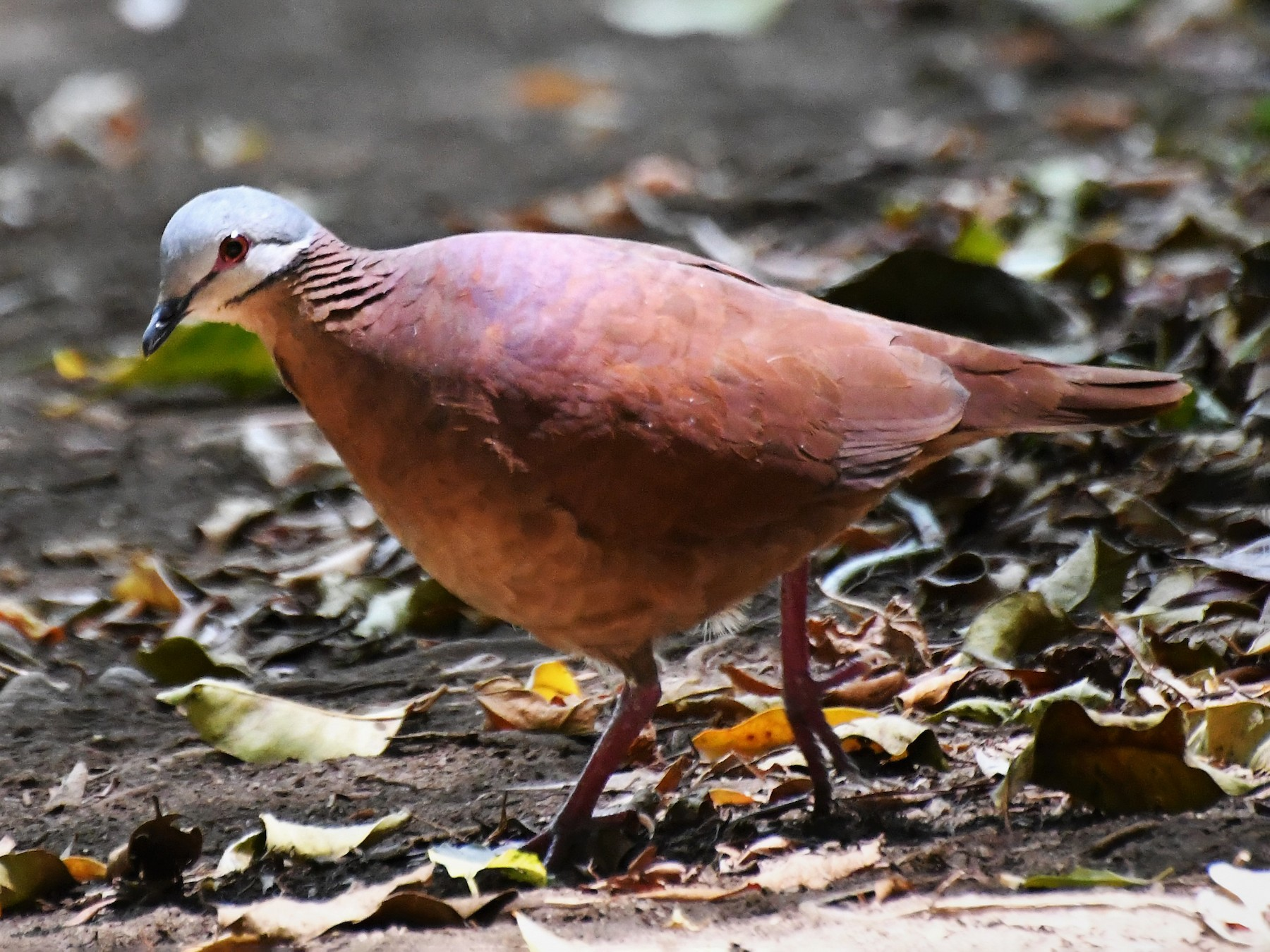 Chiriqui Quail-Dove - David W Foster