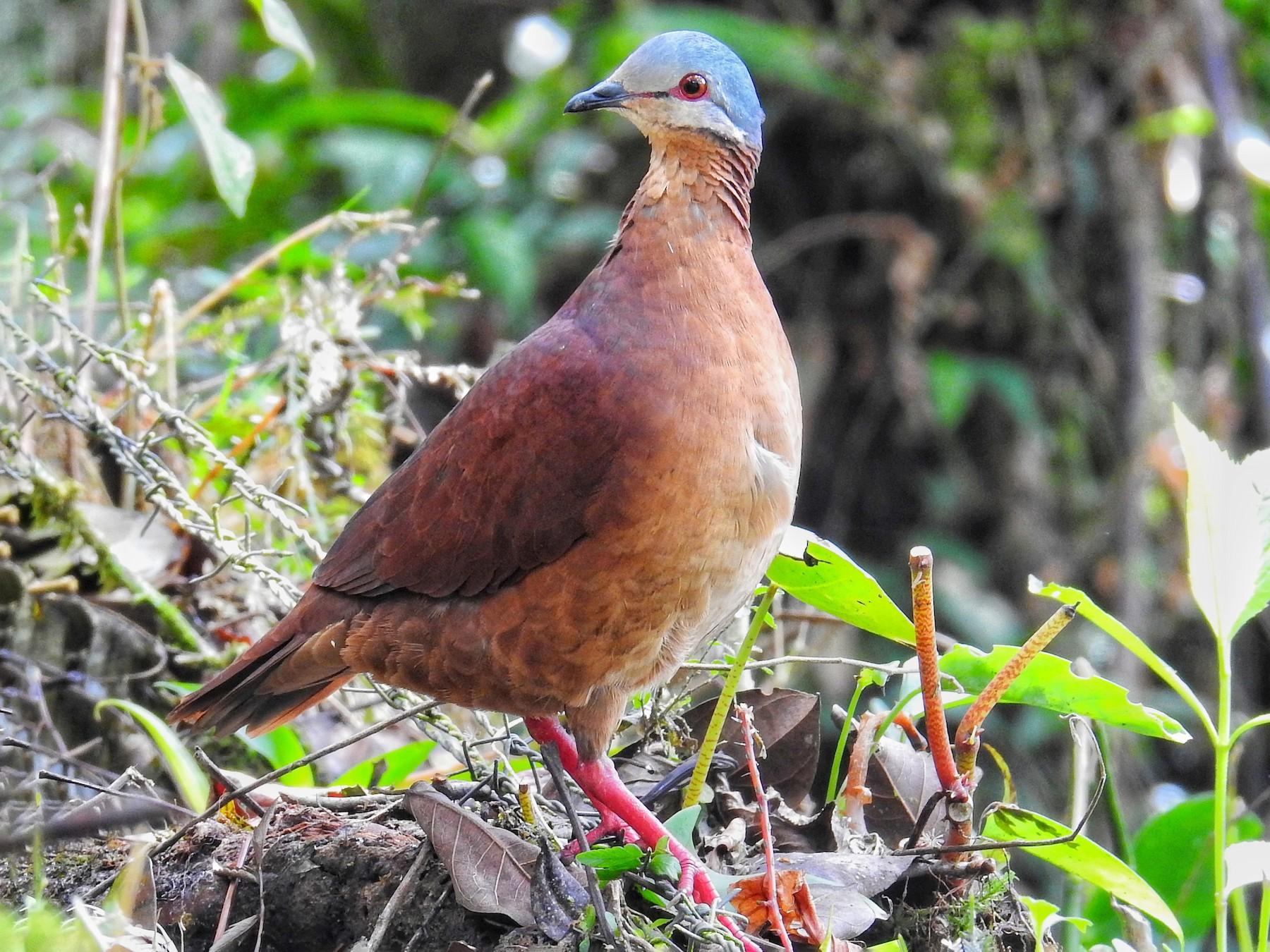 Chiriqui Quail-Dove - Paz A. Irola