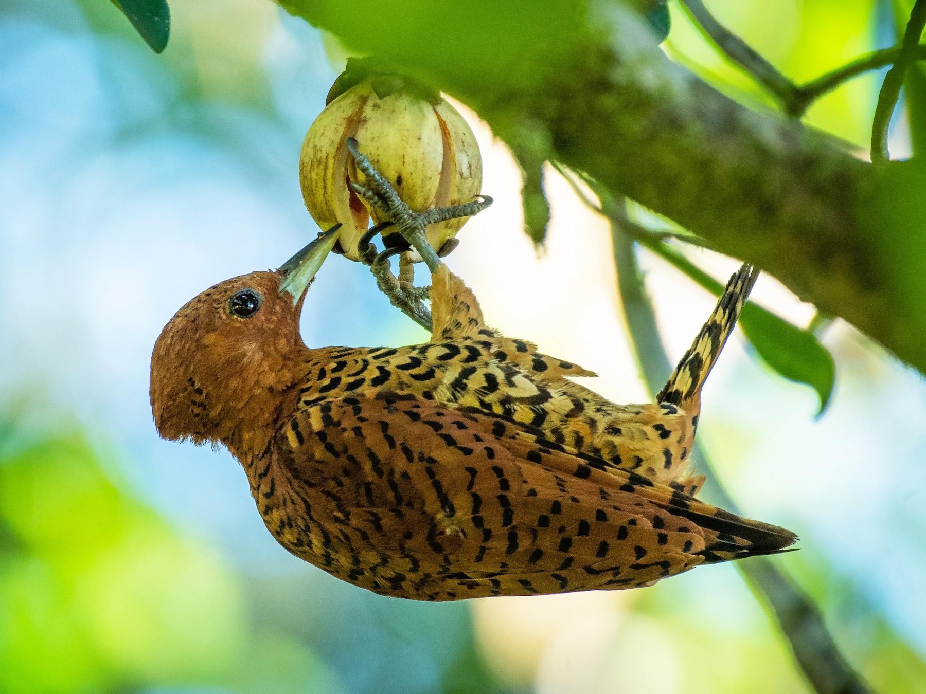 Cinnamon Woodpecker - Rio Dante