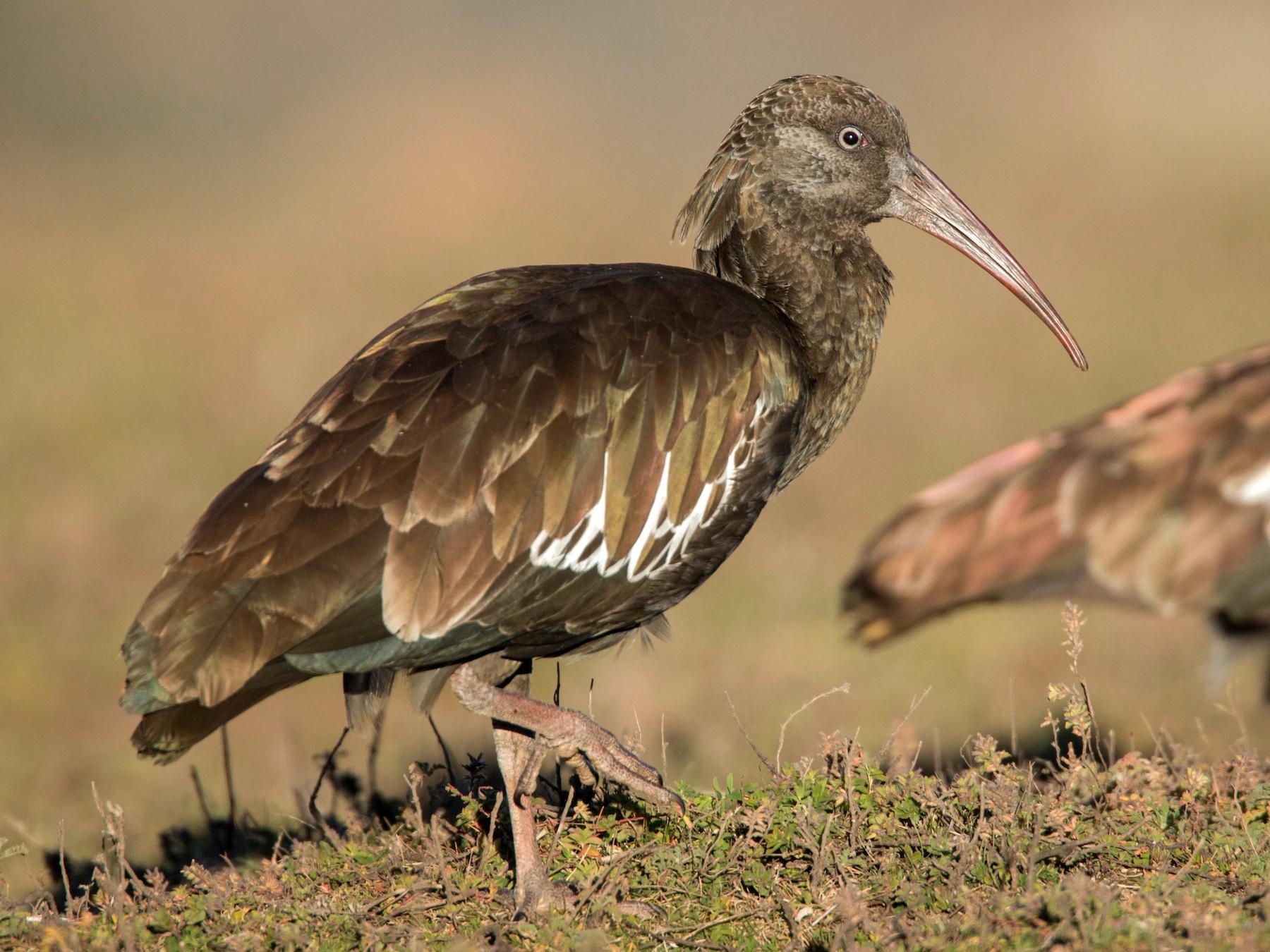 Wattled Ibis - Ian Davies