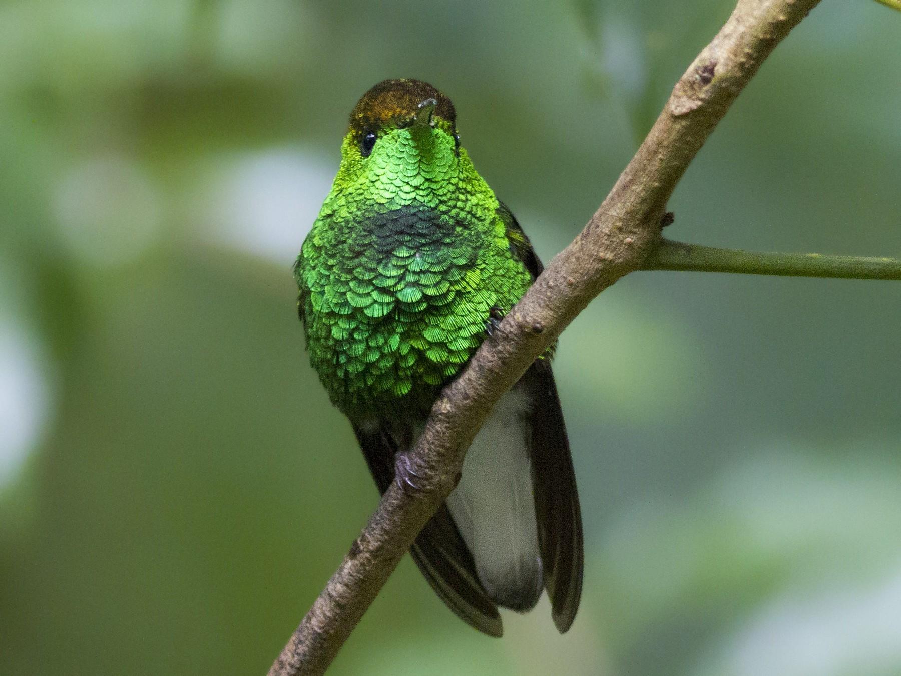 Coppery-headed Emerald - Thomas Barbin