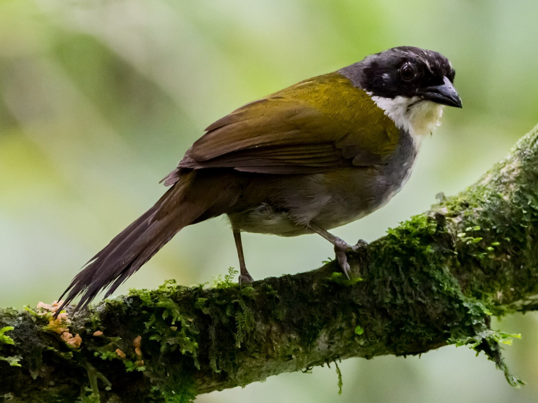 Costa Rican Brushfinch - Pepe Castiblanco