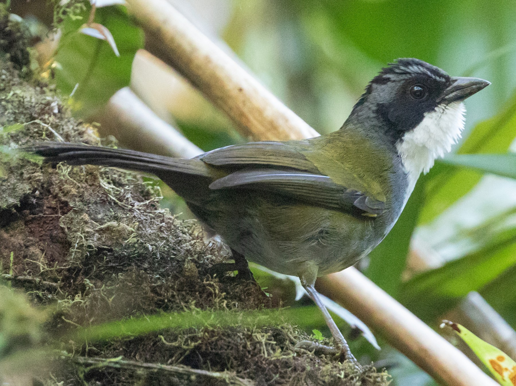 Costa Rican Brushfinch - Cory Gregory