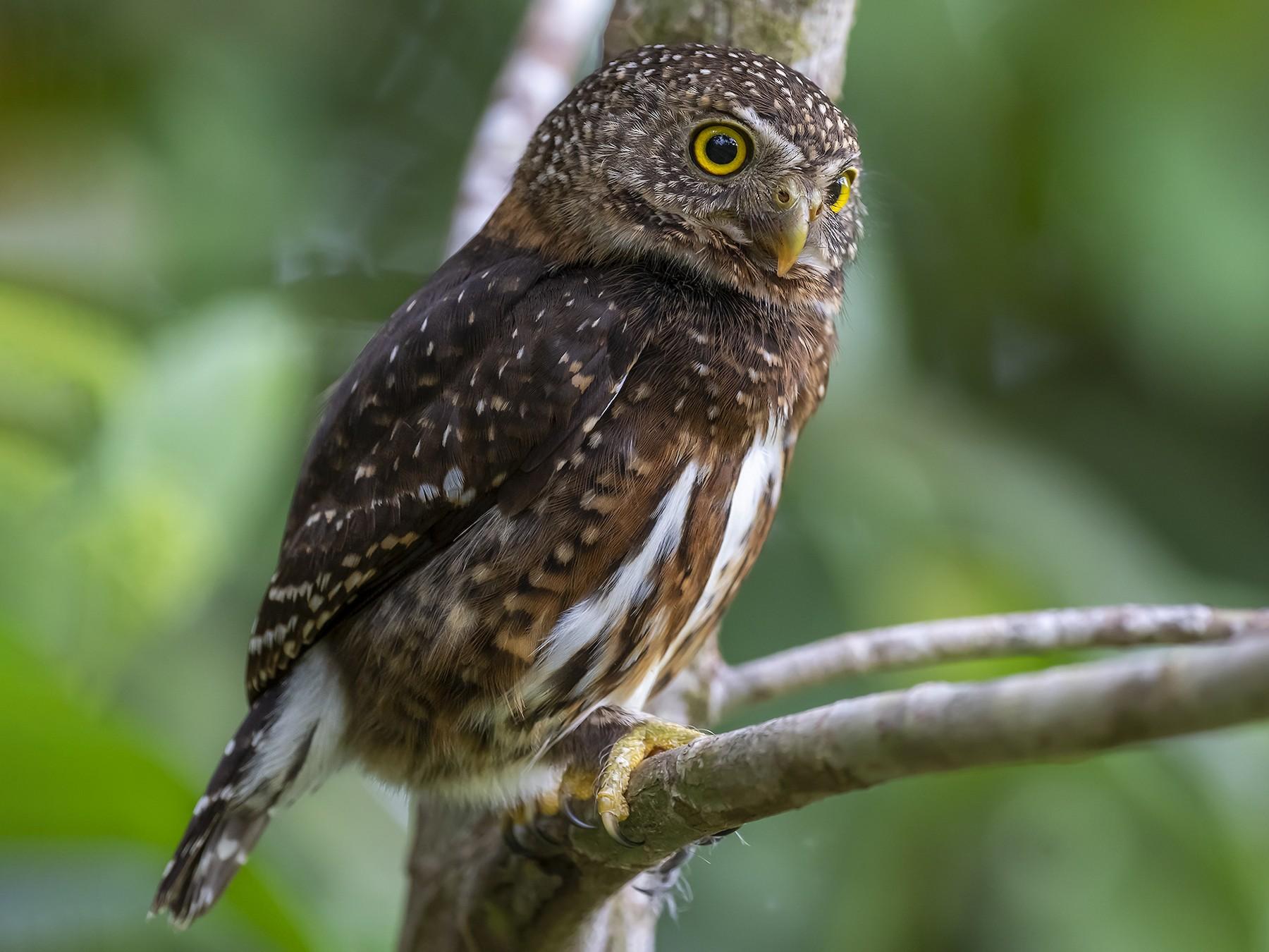 Costa Rican Pygmy-Owl - fernando Burgalin Sequeria