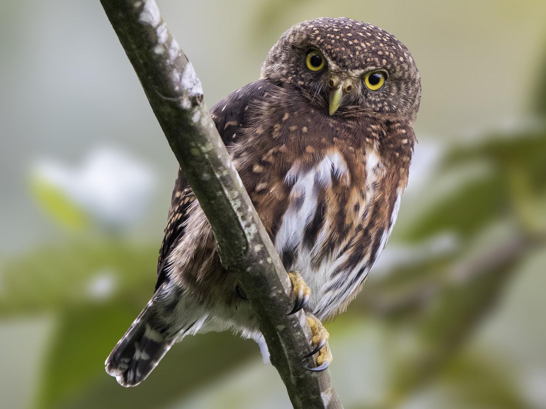 Costa Rican Pygmy-Owl - Bradley Hacker
