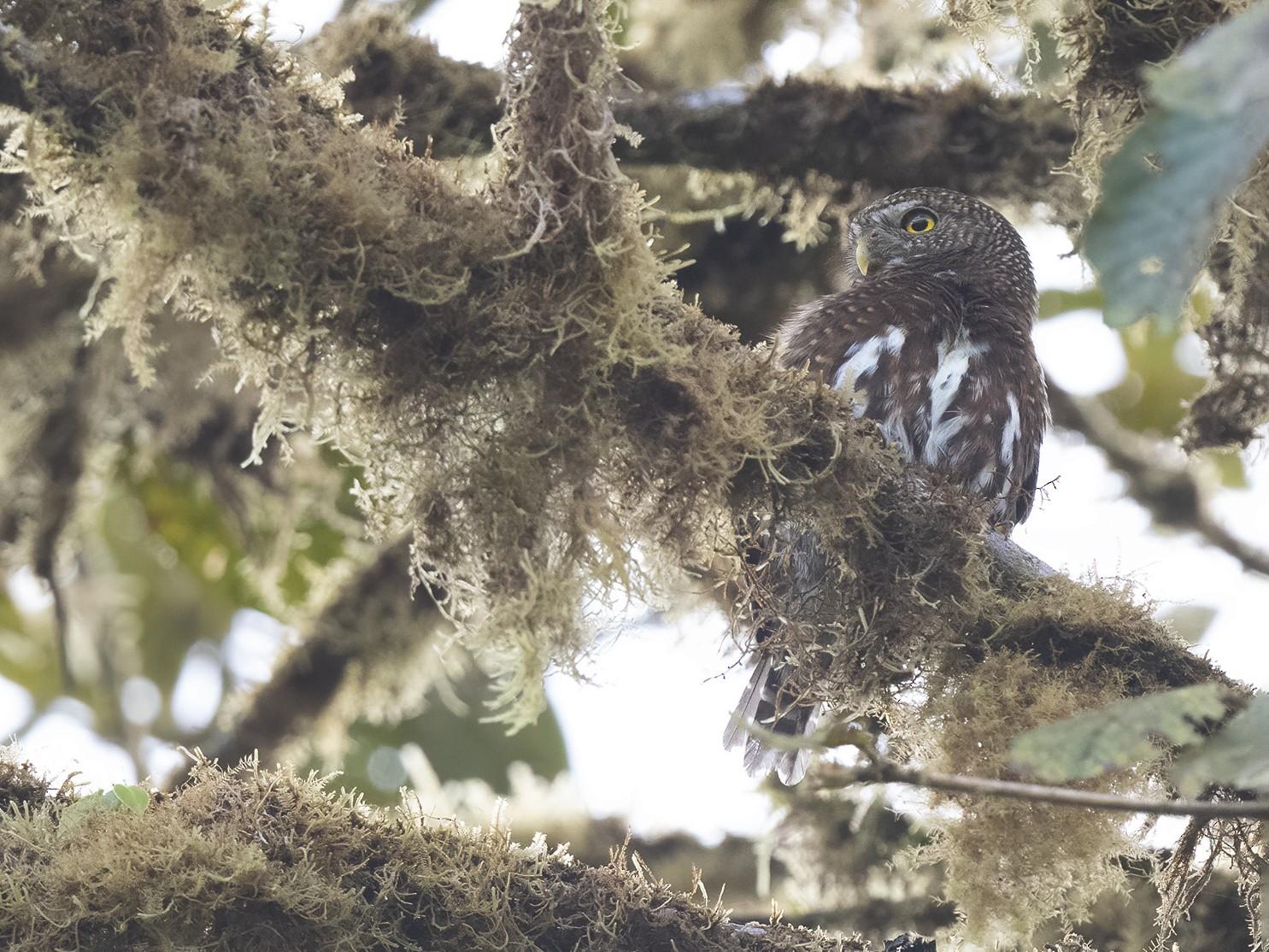 Costa Rican Pygmy-Owl - Peter Hawrylyshyn