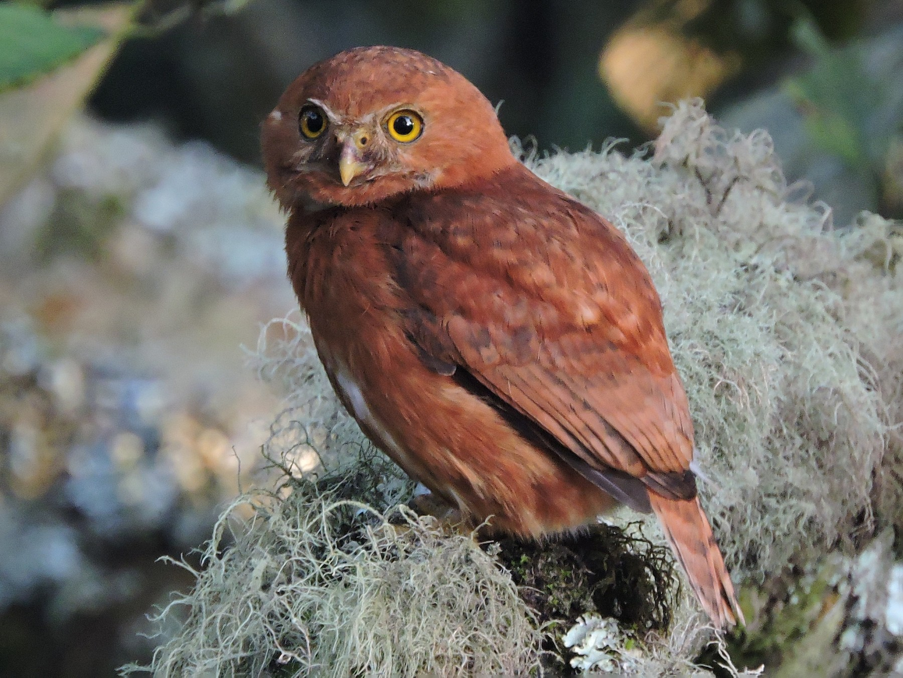 Costa Rican Pygmy-Owl - Eddy Chacon