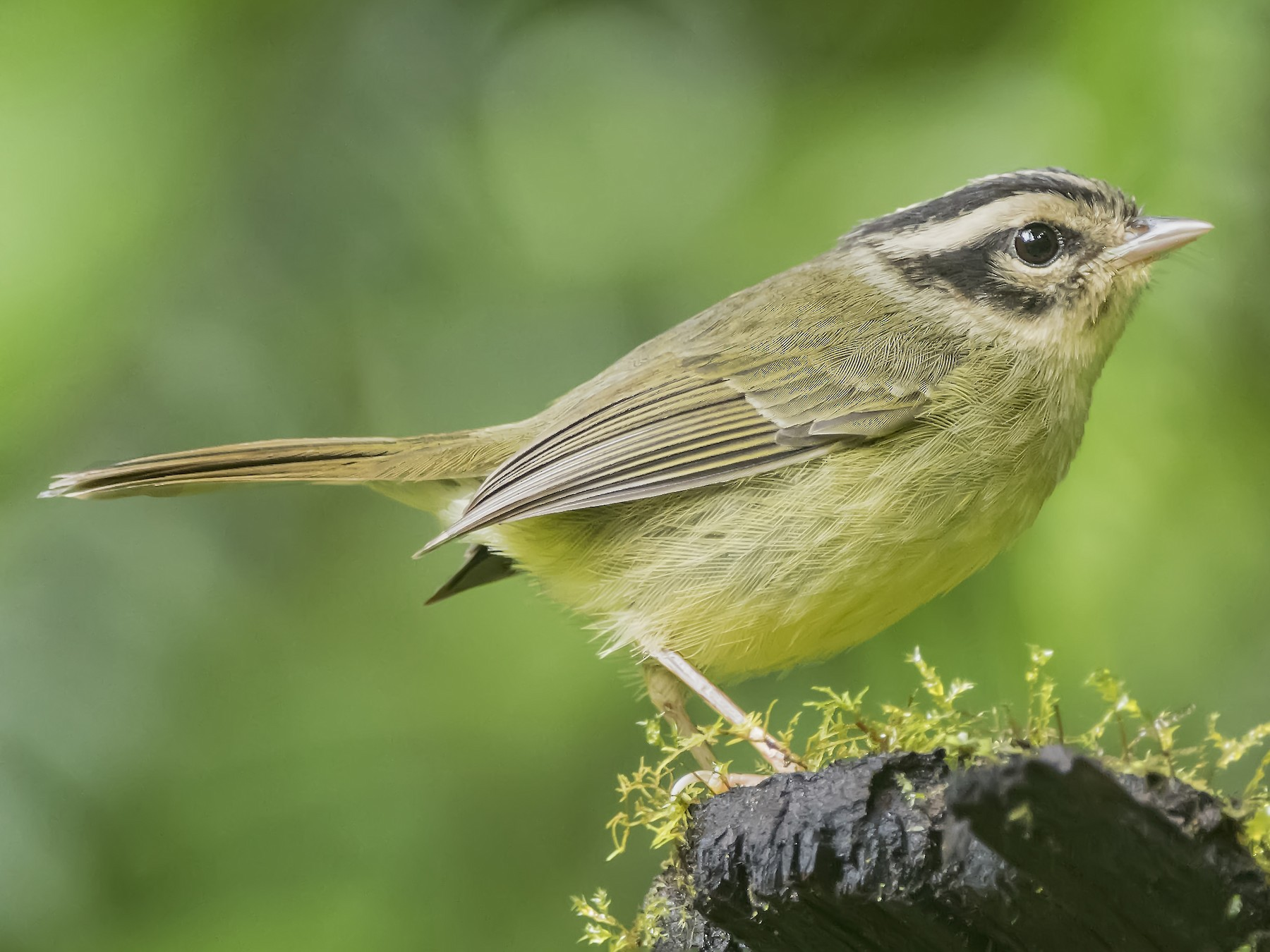 Costa Rican Warbler - Leandro Arias