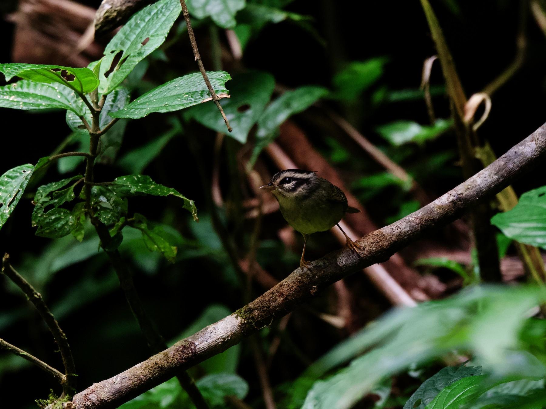 Costa Rican Warbler - Jamie Baker