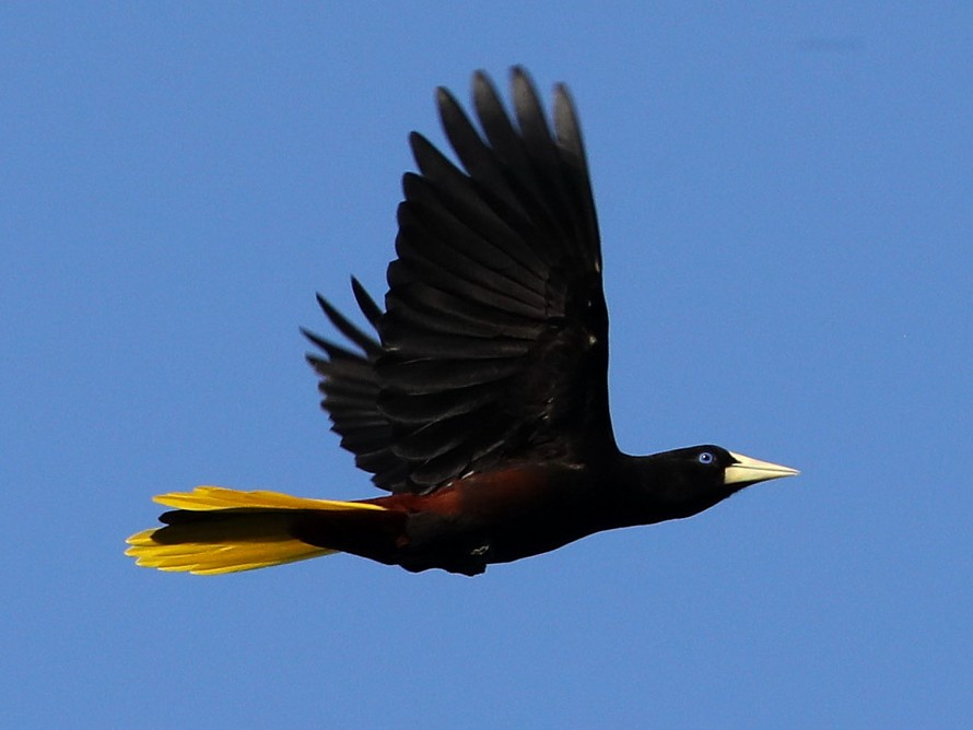 Crested Oropendola - Hal and Kirsten Snyder