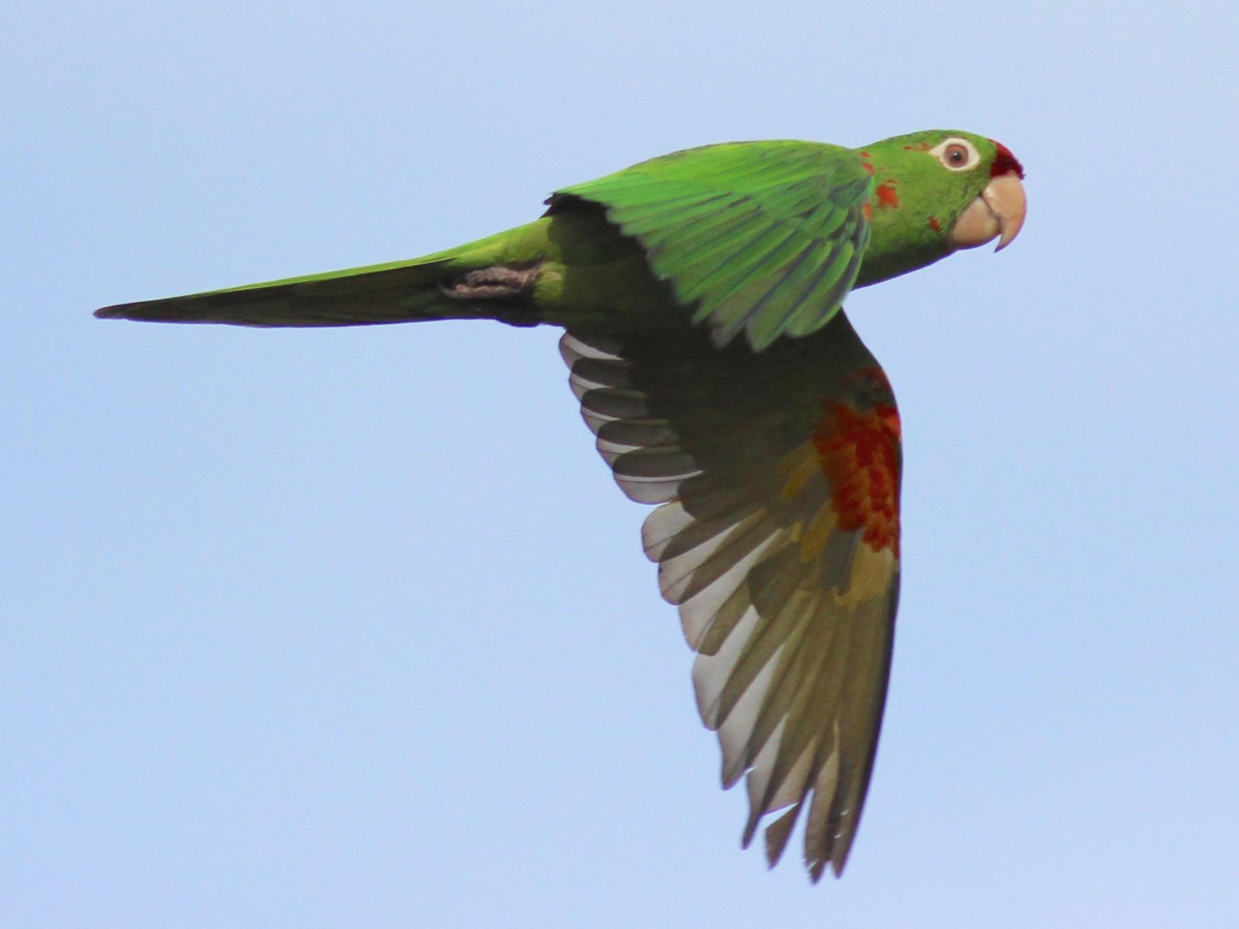 Crimson-fronted Parakeet - Jamie Adams