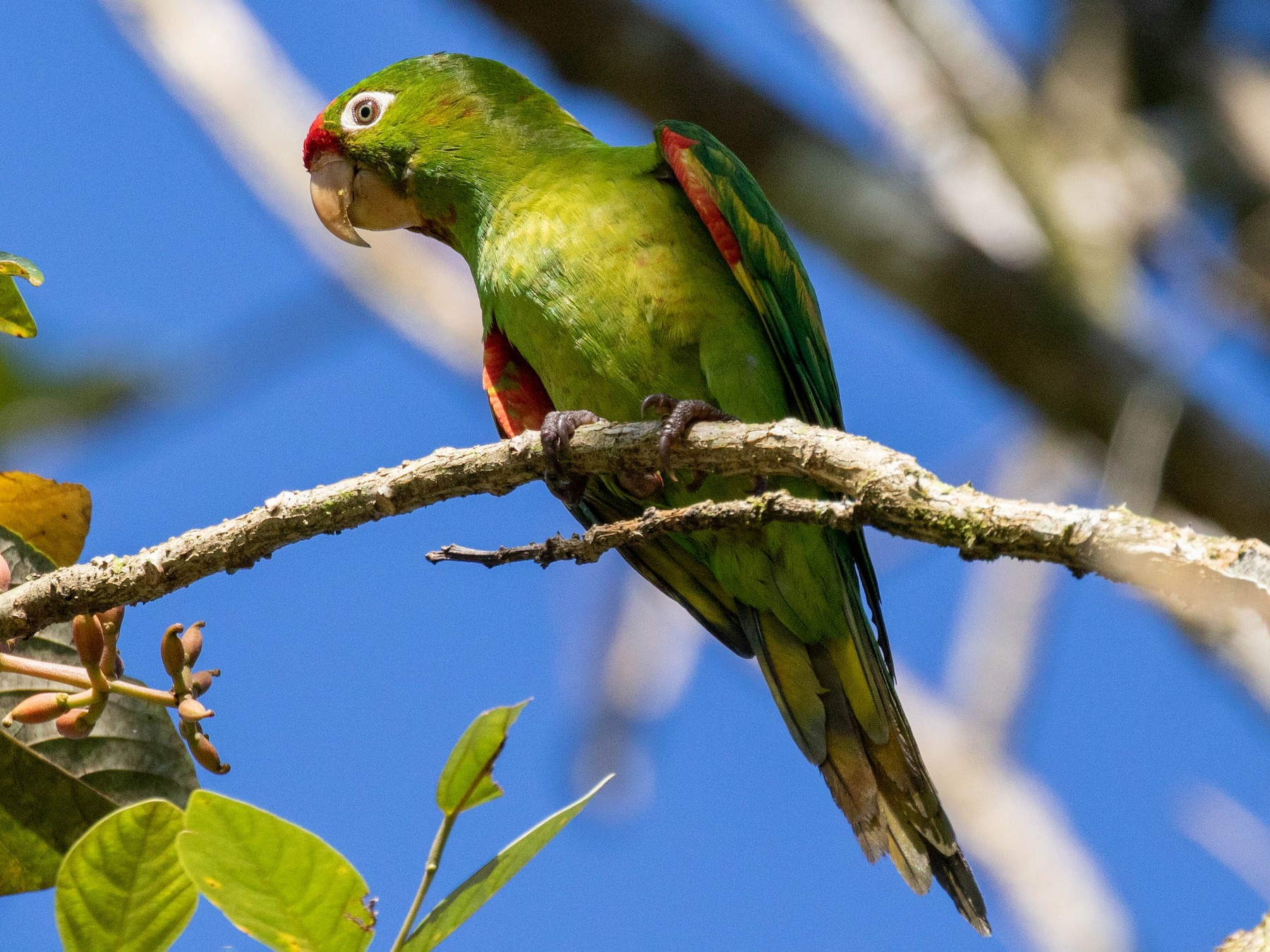 Crimson-fronted Parakeet - Michelle Martin
