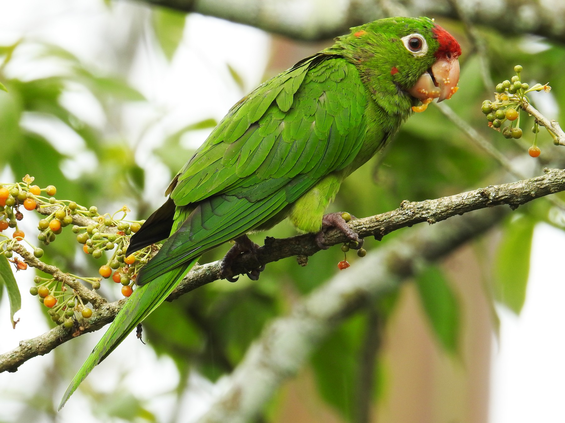 Crimson-fronted Parakeet - John and Milena Beer