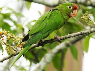 - Crimson-fronted Parakeet
