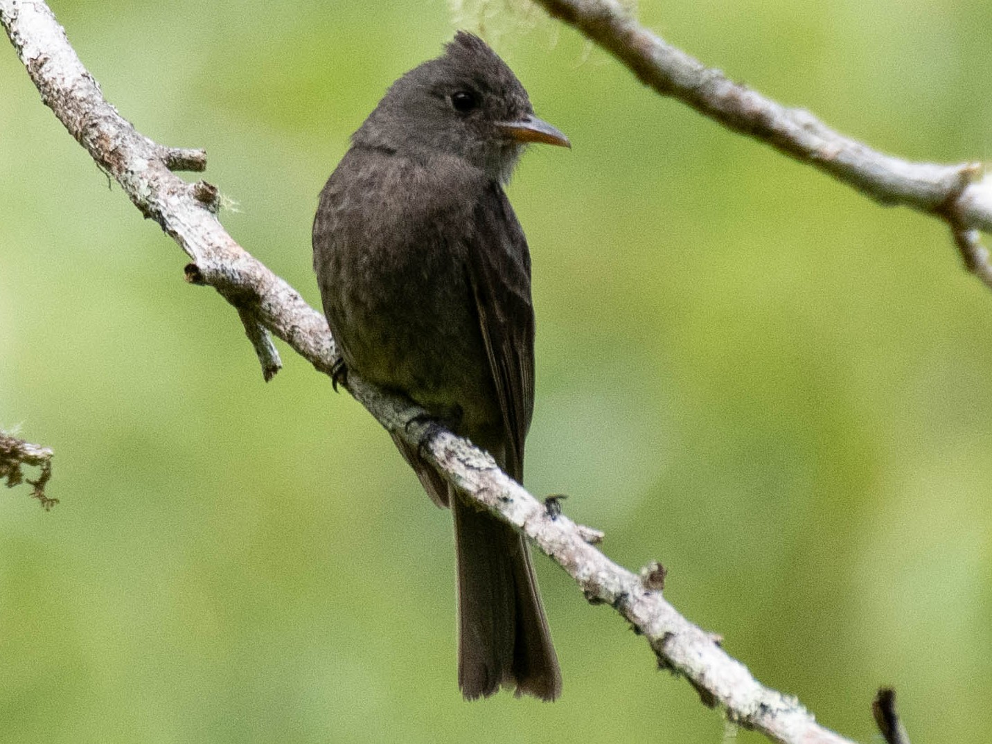 Dark Pewee - Ryan Andrews